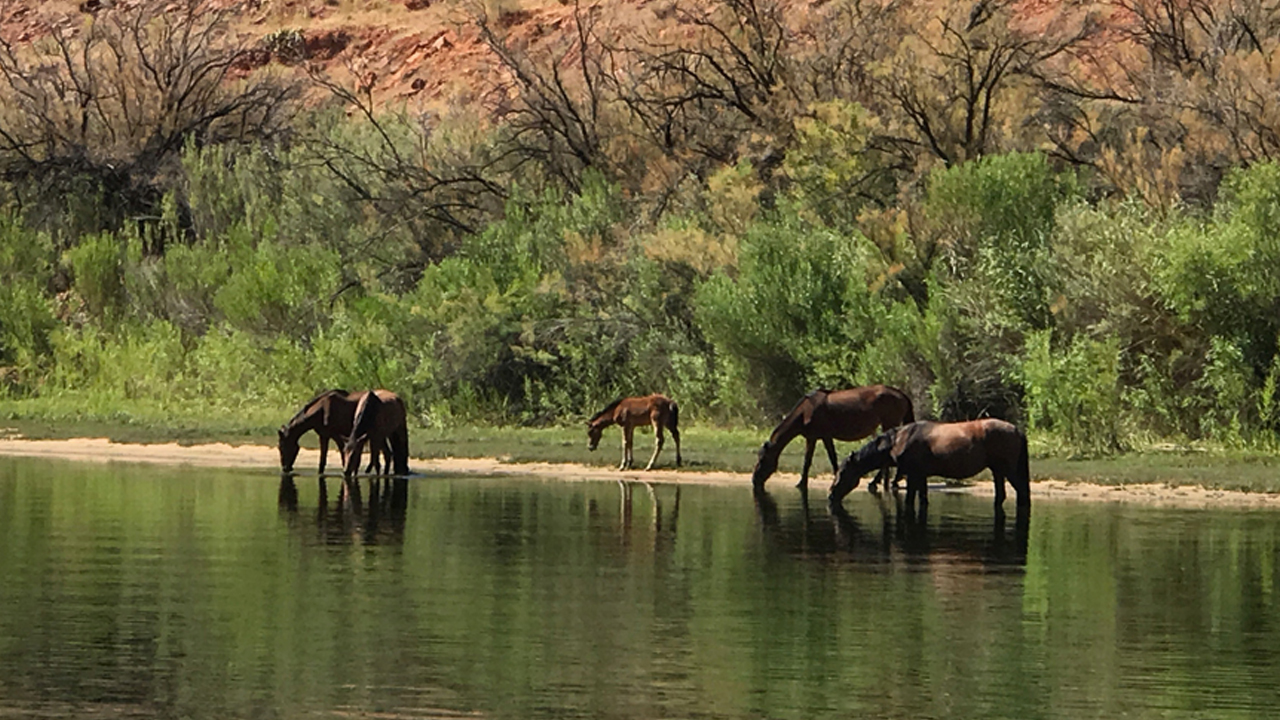 Lees Ferry Wild Horses in Grand Canyon